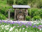<横須賀しょうぶ園>しょうぶまつり